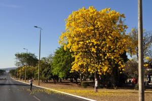 ipe_amarelo